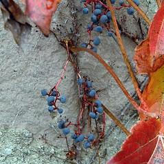 Fruits: Parthenocissus tricuspidata. ~ By Paul S. Drobot. ~ Copyright © 2018 Paul S. Drobot. ~ www.plantstogrow.com, www.plantstockphotos.com ~ Robert W. Freckmann Herbarium, U. of Wisconsin-Stevens Point