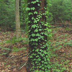 Plant form: Parthenocissus tricuspidata. ~ By Alexey Zinovjev. ~ Copyright © 2018. ~ webmaster[at]salicicola.com ~ Salicicola - www.salicicola.com/