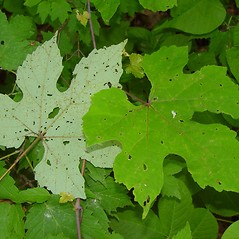 Leaves: Vitis aestivalis. ~ By Arthur Haines. ~ Copyright © 2019. ~ arthurhaines[at]wildblue.net