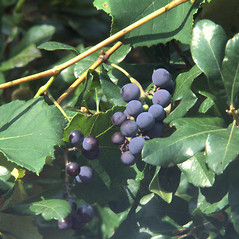 Fruits: Vitis labrusca. ~ By Catherine Heffron. ~ Copyright © 2018 New England Wild Flower Society. ~ Image Request, images[at]newenglandwild.org
