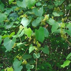 Plant form: Vitis labrusca. ~ By Alexey Zinovjev. ~ Copyright © 2020. ~ webmaster[at]salicicola.com ~ Salicicola - www.salicicola.com/