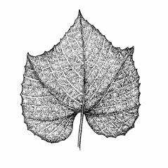 Leaves: Vitis labrusca. ~ By Elizabeth Farnsworth. ~ Copyright © 2018 New England Wild Flower Society. ~ Image Request, images[at]newenglandwild.org