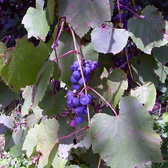 Fruits: Vitis riparia. ~ By Arthur Haines. ~ Copyright © 2020. ~ arthurhaines[at]wildblue.net