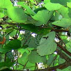 Plant form: Vitis riparia. ~ By Alexey Zinovjev. ~ Copyright © 2017. ~ webmaster[at]salicicola.com ~ Salicicola - www.salicicola.com/