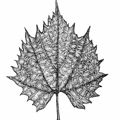 Leaves: Vitis riparia. ~ By Elizabeth Farnsworth. ~ Copyright © 2017 New England Wild Flower Society. ~ Image Request, images[at]newenglandwild.org