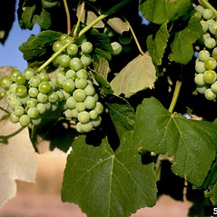 Fruits: Vitis vinifera. ~ By Howard Schwartz. ~ Copyright © 2018 CC BY-NC 3.0. ~  ~ Bugwood - www.bugwood.org/