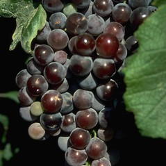 Fruits: Vitis vinifera. ~ By R.A. Hammon. ~ Copyright © 2018 CC BY-NC 3.0. ~  ~ Bugwood - www.bugwood.org/