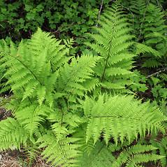 Plant form: Athyrium angustum. ~ By Marilee Lovit. ~ Copyright © 2017 Marilee Lovit. ~ lovitm[at]gmail.com