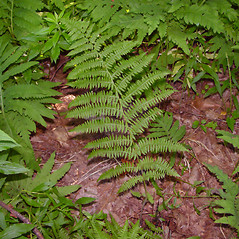 Leaf: Athyrium angustum. ~ By Arthur Haines. ~ Copyright © 2020. ~ arthurhaines[at]wildblue.net
