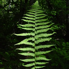 Leaf: Athyrium angustum. ~ By Donald Cameron. ~ Copyright © 2020 Donald Cameron. ~ No permission needed for non-commercial uses, with proper credit