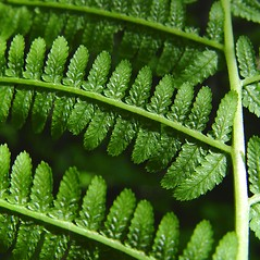 Sori: Athyrium angustum. ~ By Donald Cameron. ~ Copyright © 2020 Donald Cameron. ~ No permission needed for non-commercial uses, with proper credit