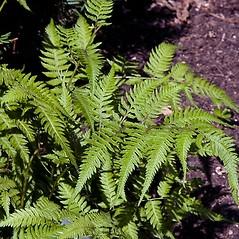 Plant form: Athyrium nipponicum. ~ By Paul S. Drobot. ~ Copyright © 2019 Paul S. Drobot. ~ www.plantstogrow.com, www.plantstockphotos.com ~ Robert W. Freckmann Herbarium, U. of Wisconsin-Stevens Point