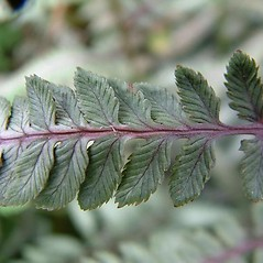 Detail of leaf and/or divisions: Athyrium nipponicum. ~ By Louis-M. Landry. ~ Copyright © 2019 Louis-M. Landry. ~ LM.Landry[at]videotron.ca  ~ CalPhotos - calphotos.berkeley.edu/flora/