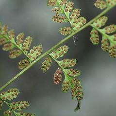 Sori: Cystopteris tenuis. ~ By Robbin Moran. ~ Copyright © 2017 Robbin Moran. ~ rmoran[at]nybg.org ~ Plant Systematics - www.plantsystematics.org/