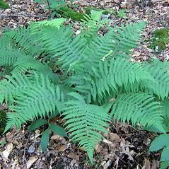 Plant form: Deparia acrostichoides. ~ By Bryan Hamlin. ~ Copyright © 2018 Bryan Hamlin. ~ bryanthamlin[at]gmail.com