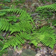 Plant form: Deparia acrostichoides. ~ By Steven Baskauf. ~ Copyright © 2018 CC-BY-NC-SA. ~  ~ Bioimages - www.cas.vanderbilt.edu/bioimages/frame.htm