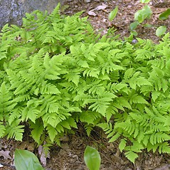 Plant form: Gymnocarpium dryopteris. ~ By Bruce Patterson. ~ Copyright © 2019 Bruce Patterson. ~ foxpatterson[at]comcast.net