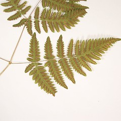 Sori: Gymnocarpium dryopteris. ~ By Donald Cameron. ~ Copyright © 2019 Donald Cameron. ~ No permission needed for non-commercial uses, with proper credit