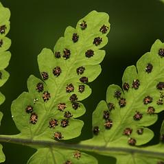 Sori: Gymnocarpium dryopteris. ~ By Walter Siegmund. ~ Copyright © 2018 CC BY-SA 3.0. ~  ~ Wikimedia