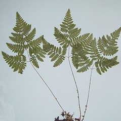 Plant form: Gymnocarpium jessoense. ~ By Arthur Haines. ~ Copyright © 2020. ~ arthurhaines[at]wildblue.net