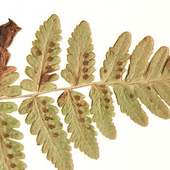 Sori: Gymnocarpium jessoense. ~ By Harvard University Herbaria. ~ Copyright © 2018 Harvard University Herbaria. ~ Requests for image use not currently accepted by copyright holder ~ Harvard U. Herbaria