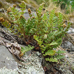 Plant form: Woodsia ilvensis. ~ By Arthur Haines. ~ Copyright © 2020. ~ arthurhaines[at]wildblue.net