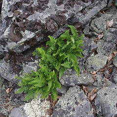Plant form: Woodsia ilvensis. ~ By Donald Cameron. ~ Copyright © 2020 Donald Cameron. ~ No permission needed for non-commercial uses, with proper credit