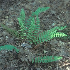 Leaf: Woodsia ilvensis. ~ By Cheryl Lowe. ~ Copyright © 2020 New England Wild Flower Society. ~ Image Request, images[at]newenglandwild.org