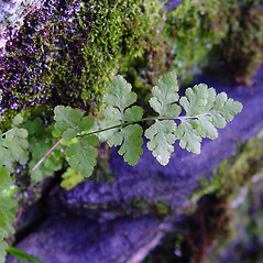 Leaf: Woodsia obtusa. ~ By Arthur Haines. ~ Copyright © 2018. ~ arthurhaines[at]wildblue.net