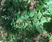 Sighting photo: Circaea canadensis