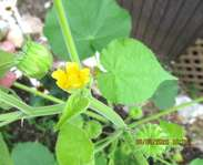 Sighting photo: Abutilon theophrasti