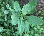 Sighting photo: American pokeweed