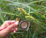 Sighting photo: Carex lupulina