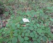 Sighting photo: Hylodesmum glutinosum