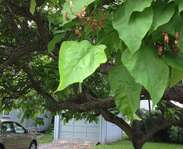 Sighting photo: Catalpa speciosa