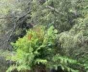 Sighting photo: Osmunda spectabilis