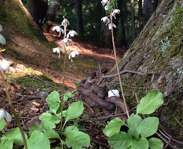 Sighting photo: Pyrola elliptica