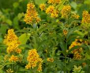 Sighting photo: Lysimachia vulgaris