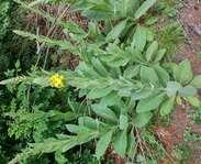 Sighting photo: Common mullein