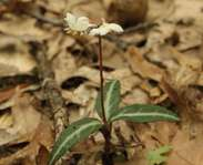 Sighting photo: Chimaphila maculata