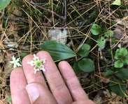 Sighting photo: Moneses uniflora