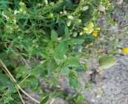 Sighting photo: Silene vulgaris