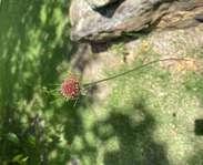 Sighting photo: Allium vineale