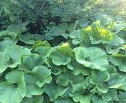 Sighting photo: Petasites japonicus