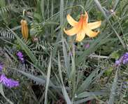 Sighting photo: Canada lily