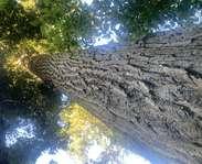 Sighting photo: poplar
