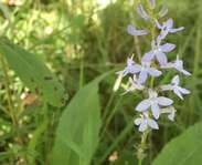 Sighting photo: Lobelia spicata