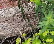 Sighting photo: slender leafy spurge