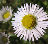 Erigeron strigosus: flowers 1
