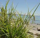 Carex crinita: plant form 2